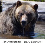 the grizzly bear also known as...   Shutterstock . vector #1077135404