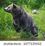 the grizzly bear also known as...   Shutterstock . vector #1077135410