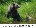 the grizzly bear also known as... | Shutterstock . vector #1077135413