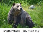 the grizzly bear also known as... | Shutterstock . vector #1077135419