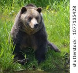the grizzly bear also known as...   Shutterstock . vector #1077135428
