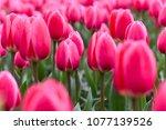 Red Pink Tulip Flowers Garden....