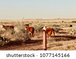 brown white cows running ranch... | Shutterstock . vector #1077145166
