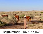 brown white cows running ranch... | Shutterstock . vector #1077145169
