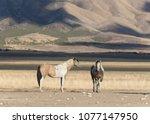 onaqui herd wild mustangs in... | Shutterstock . vector #1077147950