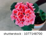 pink geranium potted plant | Shutterstock . vector #1077148700