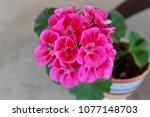 pink geranium potted plant | Shutterstock . vector #1077148703