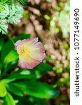california poppies in spring... | Shutterstock . vector #1077149690