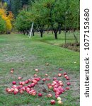 Fall Day In The Apple Orchard...