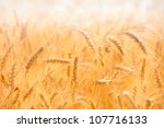 Golden Wheat Field On Hot Sunny ...