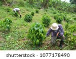 Puerto Rican Coffee Farm, Finca, Puerto Rico Plantation, Tropical Foilage, Ginger, Coffee Trees, Greenery, Adjuntas, Mountain Farm, Agriculture, Organic
