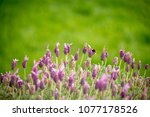 bumble bees on lavender flowers  | Shutterstock . vector #1077178526