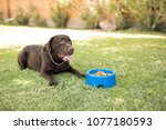 handsome chocolate labrador... | Shutterstock . vector #1077180593