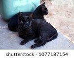 Stock photo two black cats 1077187154