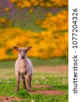 Scottish Scene  Young Lamb...