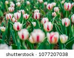 red tulips in the morning sun.... | Shutterstock . vector #1077207038