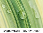 Small photo of Water droplets and water droplets adsorbed on yellow-green grass blades