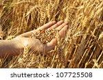 Hand Full Of Wheat Seeds  Whea...