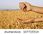 Wheat Seeds Falling In Hand In...