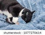 playful black and white tuxedo... | Shutterstock . vector #1077270614