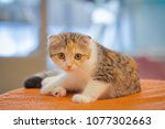 Stock photo a little cute cat sitting on orange velvet sofa baby american shorthair cat sitting so cute relax 1077302663