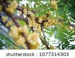 star gooseberry on tree. fresh ... | Shutterstock . vector #1077314303