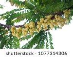 star gooseberry on tree. fresh ... | Shutterstock . vector #1077314306