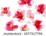 azalea flowers on the white | Shutterstock . vector #1077317798