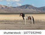 onaqui herd wild mustangs in... | Shutterstock . vector #1077352940