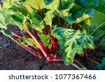 Rhubarb Growing In Evening Light