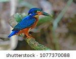 beautiful bird  male of blue...   Shutterstock . vector #1077370088