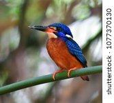 beautiful bird  male of blue...   Shutterstock . vector #1077370130