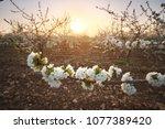 sweet cherry garden on the... | Shutterstock . vector #1077389420