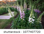Pink And White Digitalis Or...