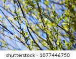 Small photo of Willow flower of an Almond willow (Salix triandra). Willow branches blooming on blue sky background
