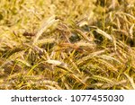 Small photo of different color of ears of rye in the field during summer summer, the details of plants used to obtain food