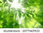 green leaves and sun in spring. | Shutterstock . vector #1077465923