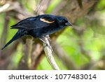 red winged blackbird agelaius... | Shutterstock . vector #1077483014