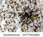 ant colony on gravel background | Shutterstock . vector #1077503684