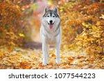 A Delightful Gray Husky Stands...