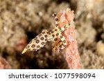 greater blueringed octopus... | Shutterstock . vector #1077598094