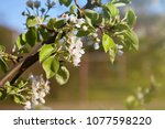 pear blossom and spring season. ... | Shutterstock . vector #1077598220