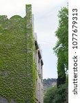 ivy plant climbing a wall  of a ... | Shutterstock . vector #1077679313