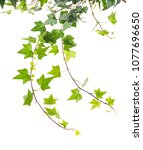 ivy isolated on a white... | Shutterstock . vector #1077696650