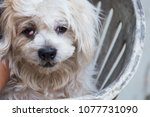 a dog with an eye injury  from... | Shutterstock . vector #1077731090