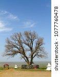 lone poplar in steppe. sacred...   Shutterstock . vector #1077760478