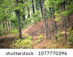 pine forests at ban wat chan... | Shutterstock . vector #1077770396