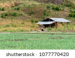 rice field and haystack in the... | Shutterstock . vector #1077770420