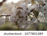 close up of a cherry flower   Shutterstock . vector #1077801389