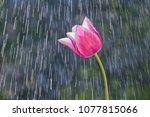 Lilac Purple Tulip On The...